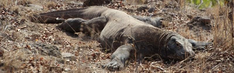 Komodo Dragon on Rinca Island, Komodo National Park, Indonesia