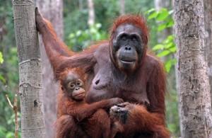 indonesia-kalimantan-tanjung-puting-organgutan-baby
