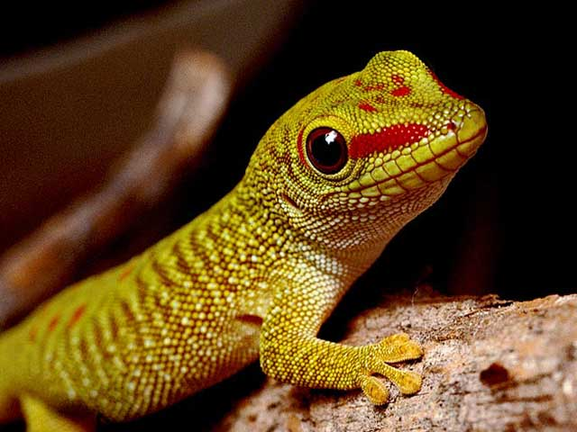 Cute Leopard Gecko Wallpaper Simple Templating Technology Allows Stamping Of Biomimetic