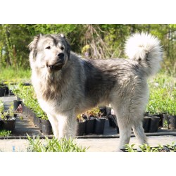 Small Crop Of Russian Mountain Dog