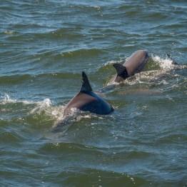 Bottlenose dolphin, Port Stephens