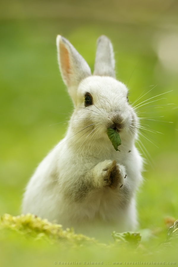 Cute Baby Rabbit Wallpapers A Praying White Rabbit Roeselien Raimond Nature Photography