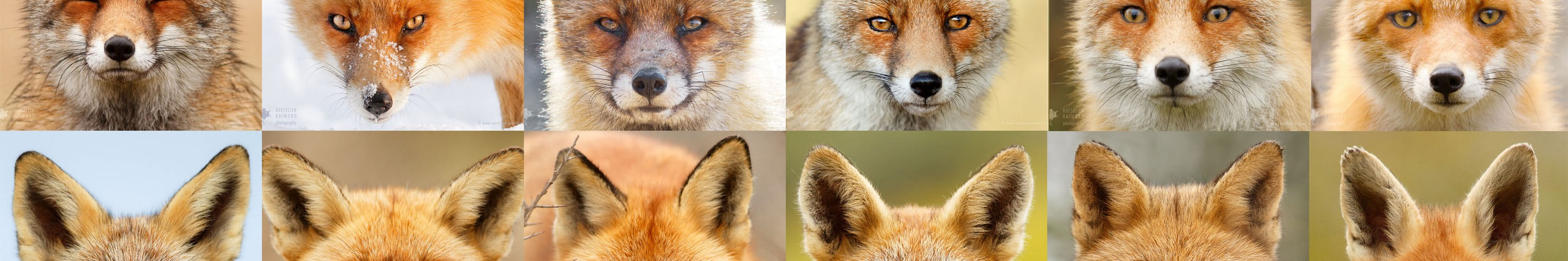 slider_fox_faces