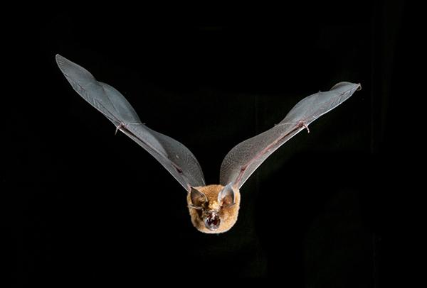 A Rufous Horseshoe Bat, (Rhinolophus rouxi) in flight, found in the Knuckles Mountain Range. Credit: Vincent Luk