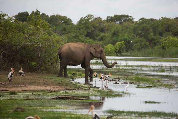 Wild Asian elephant sharing some water with painted storks at Kumana National Park. Credit: Vincent Luk