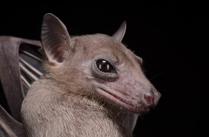 A photo portrait of Rousettus leschenaultii. A species of fruit bat commonly found in Sri Lanka. Credit: Burton Lim