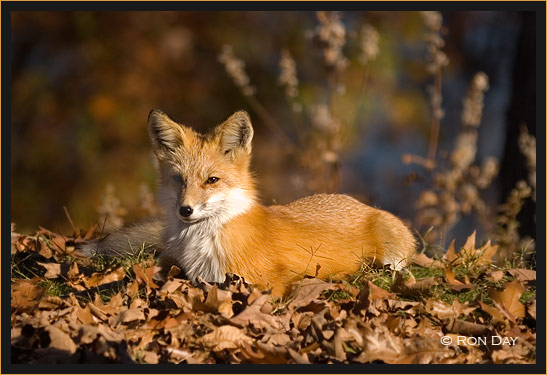 Free Fall Wallpaper With Animals Red Fox Lying In Fall Leaves