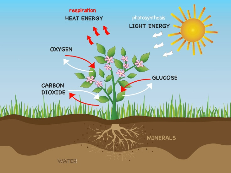 Photosynthesis And Respiration In Plants