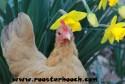SpringChicken(RH)