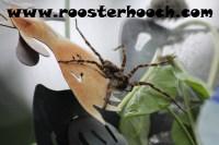 RHFishingSpider3(Web)(RH)