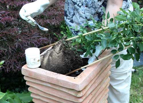 Der Ballen wird mit Mykorrhiza bestreut. Dadurch kann die die angebotenen Nährstoffe optimal ausnutzen und sie werden unempfindlicher gegen Stress und Krankheitserreger.