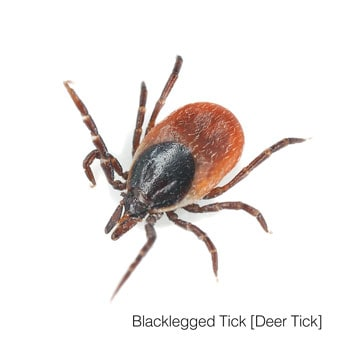 Tick identification and information for Michigan, Ohio and Indiana