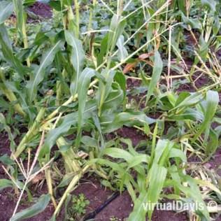 Raccoon Damage to Sweet Corn