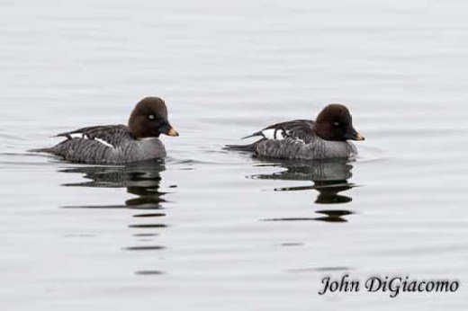 Goldeneye ducks in Essex on Lake Champlain (Photo: John DiGiacomo)