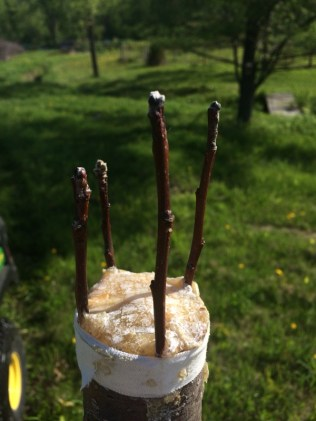 Almost a month after grafting three of Rosslyn's old apple trees, none of the grafted buds/scions look like they have taken.