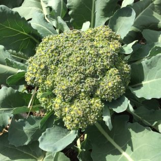 Organic Broccoli, Summer 2016