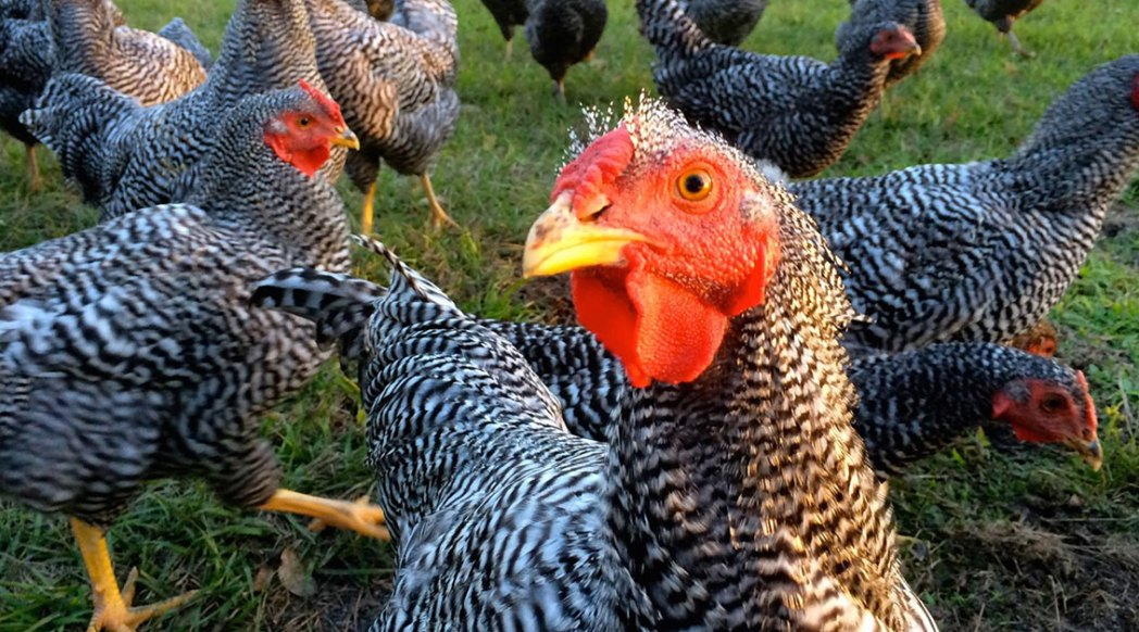 Organically-Raised Pastured Chicken