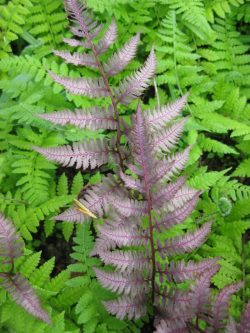 Small Of Silver Lace Fern