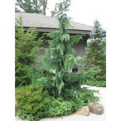 Small Crop Of Weeping Alaskan Cedar