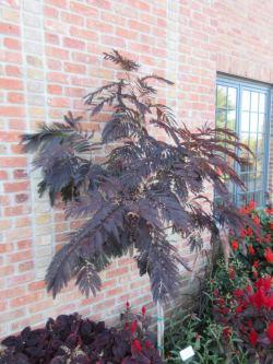 Small Of Chocolate Mimosa Tree