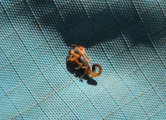 Tiny scorpion