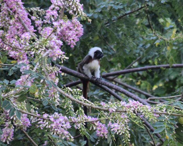 Monkey from Tayrona