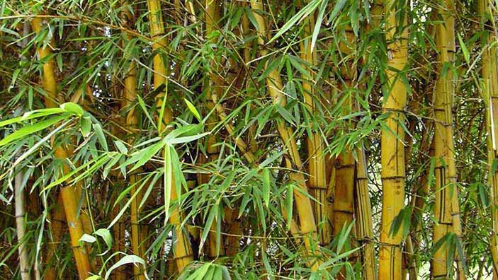 Bamboo Killing Chemical - Garden Design Ideas