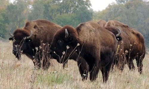 Midewin Tallgrass Prairie now leading bison tours