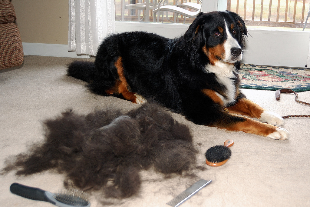 Why Do Dogs Shed In The Fall The Dog People By Rovercom