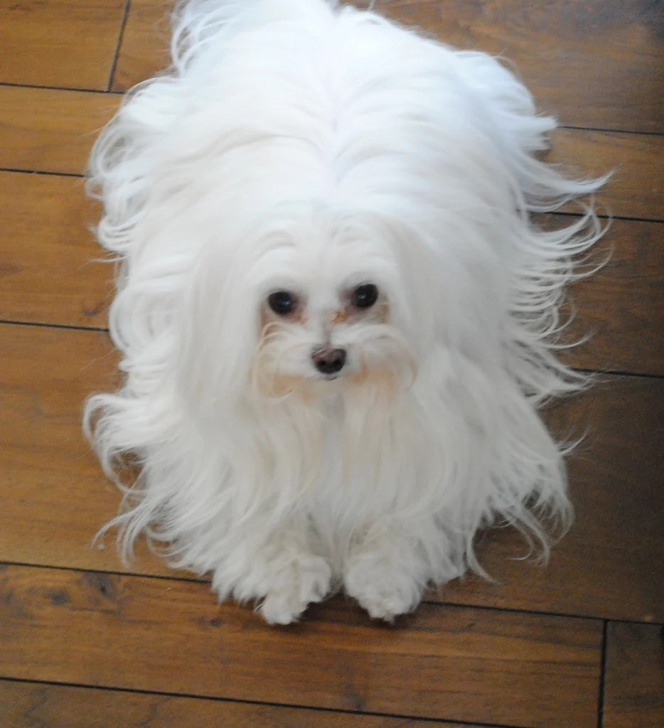 Sunshiny Maltese Long Hair Everything You Need To Know About Maltese Rover Blog Maltese Dog Puppy Cut S Maltese Puppy Cuts Grooming bark post Maltese Puppy Cut
