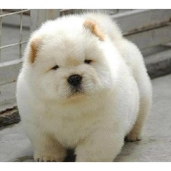 Small Crop Of Baby Chow Chow