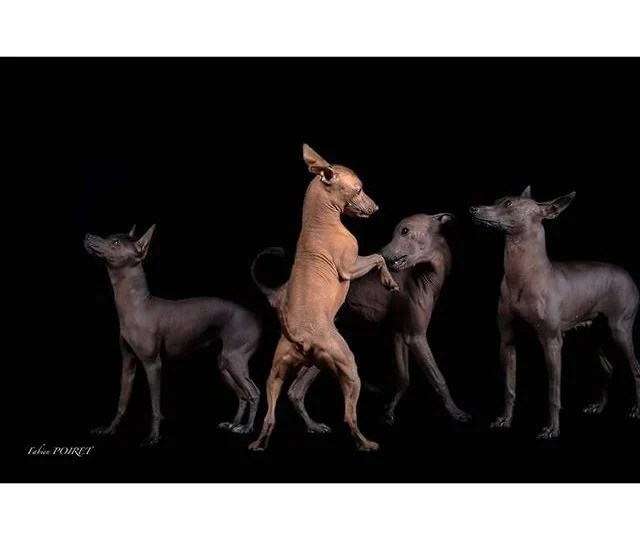 The Amazing Story Behind Mexico\u0027s Ancient Dog Breed The Dog People