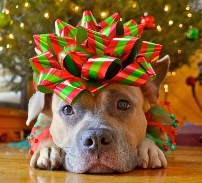 Cute Labrador Puppy Wallpaper Giving A Puppy As A Gift The Right Way To Do Christmas