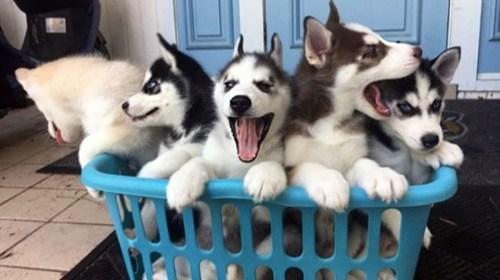 Medium Of Corgi Husky Puppies