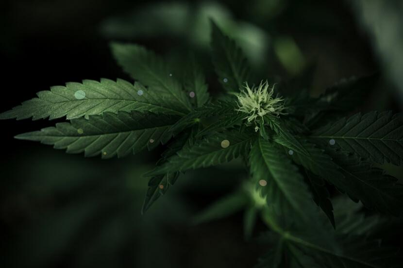 Is Chelation The Key To Feeding Cannabis Plants? - RQS Blog