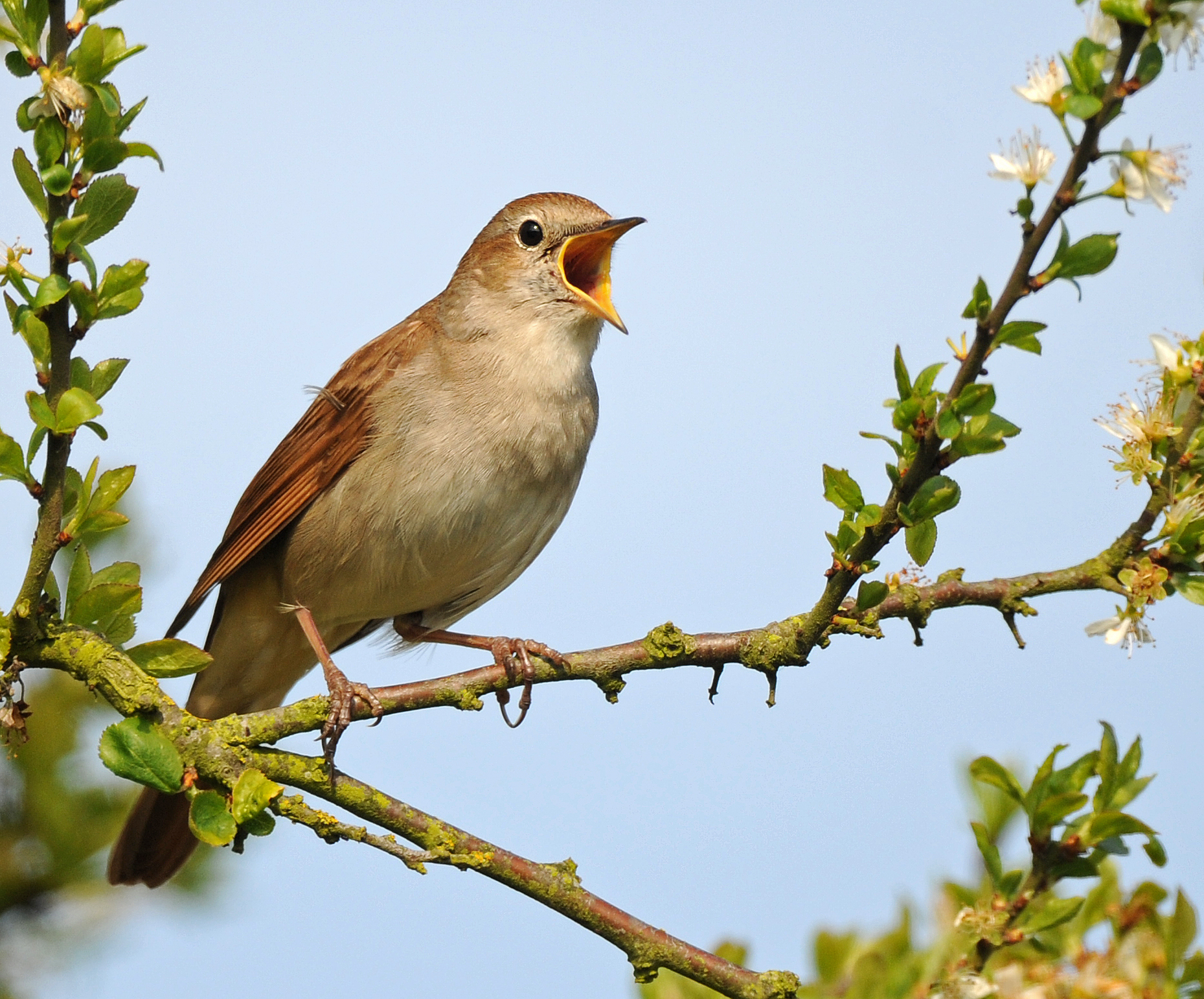 Old Time Car Wallpaper Hd Species Of The Week Nightingale Minsmere Minsmere