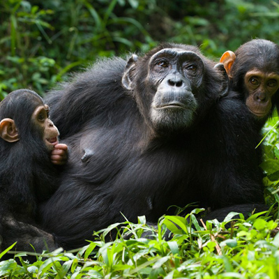 chimpanzees-kibale-rumara-safaris