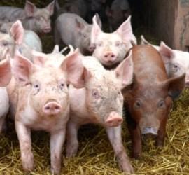 Pigs 350 x 350