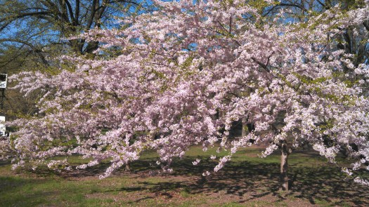 Central Park, Run For Boston, Blossoming trees, Run For The Parks