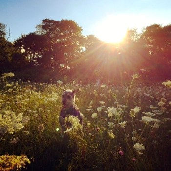 Happy National Dog Day! Happy dog in a field of wild flowers