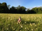 Dog running through a field of wild flowers
