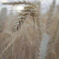 Monsanto And USDA: Destroying American Agriculture One Crop At A Time