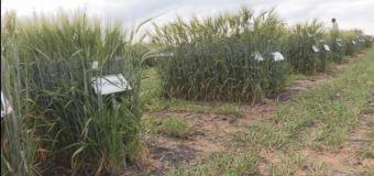 PhD student studies alternatives to herbicides