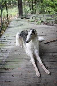 borzoi dog 199x300 Borzoi, the Russian Wolfhound
