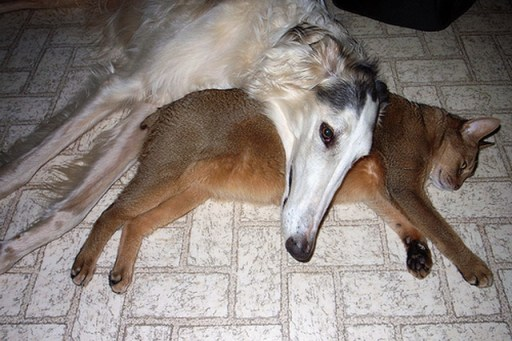 dog and cat Borzoi Pictures