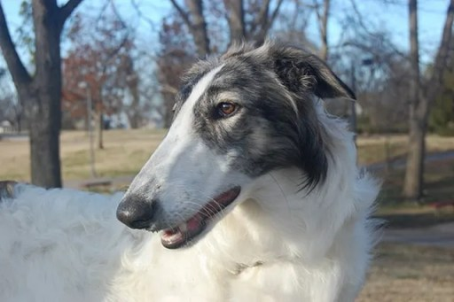 dog head Borzoi Pictures
