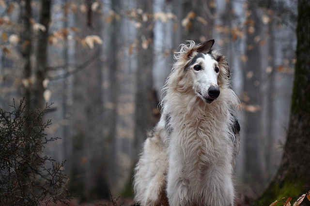 siberian wolfhound dogs