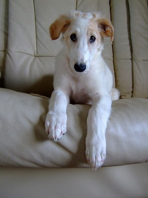 borzoi-puppy