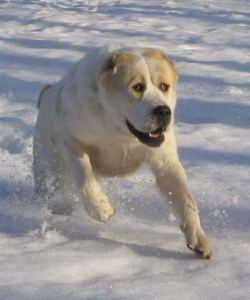 running dog 250x300 Central Asian Dog