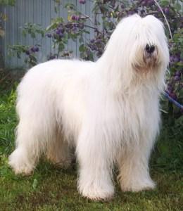 russian sheepdog 260x300 White Russian Dog